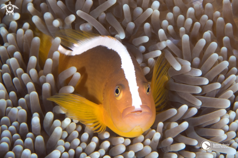A Orange Skunk Clownfish