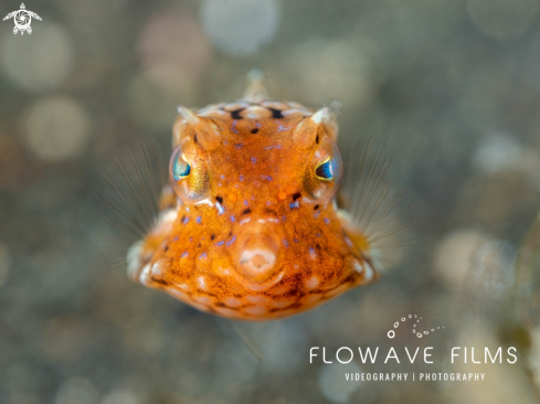 The Juvenile Thornback Boxfish
