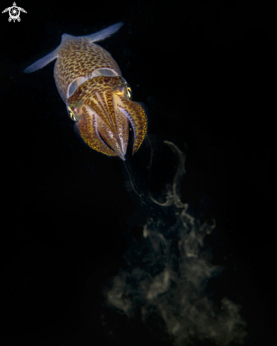 The European Common squid