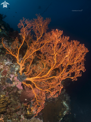 The Sea fan