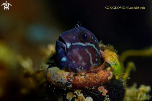 The Black Coralblenny