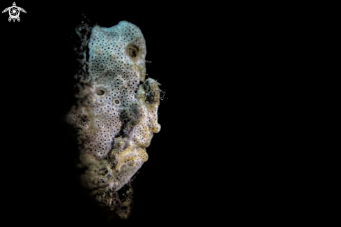 A Ocellated frogfish, | frogfish