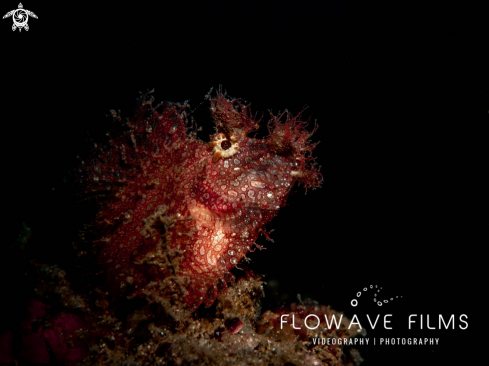 The Weedy Scorpionfish