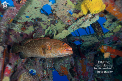 A Mycteroperca tigris | 28mm lens and grouper