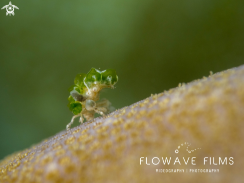 A Juvenile Decorator Crab