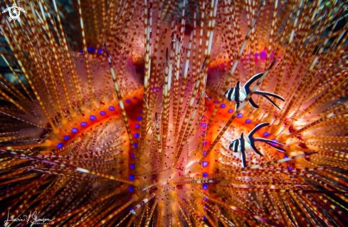 A Fire Urchin and Banggai Cardinal Fish