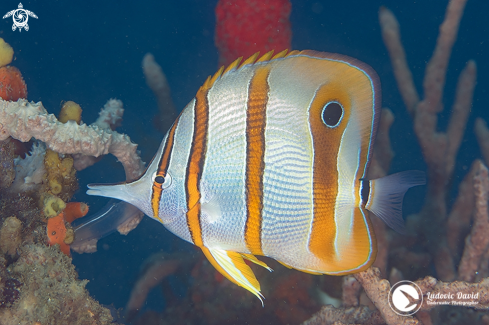 A copperband butterflyfish