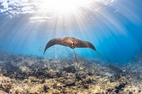 A Giant Pacific Manta Ray