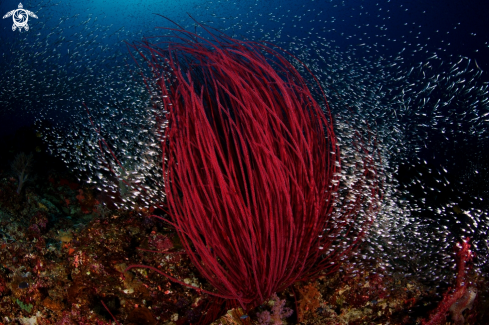 A Red Whip Coral