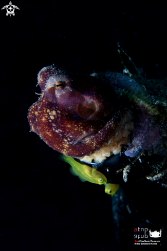 A Octopus with Yellow Goby