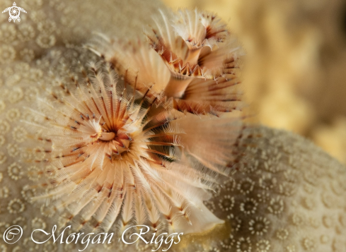 The Xmas tree worm