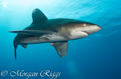 The Oceanic Whitetip