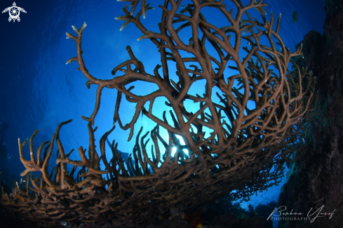 The Staghorn Coral