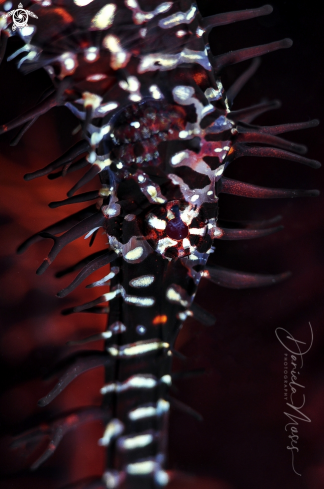 The Ornate Ghost Pipefish