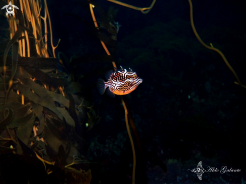 A Striped Cowfish - Shaw's Cowfish
