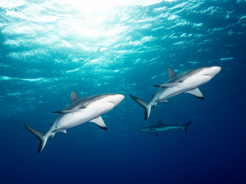 A Grey Reef Sharks