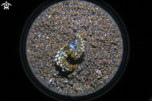A Trinchesia Nudibranch