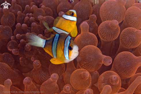 A Amphiprion clarkii, Clark's Anemonefish | Clown fish, Nemo