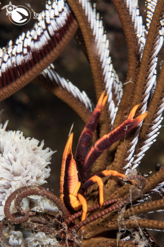 A Baba's Crinoid Squat Lobster