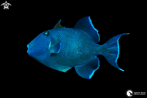 A Blue Triggerfish