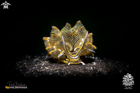 A Cyerce nigra | Tiger butterfly sea slug