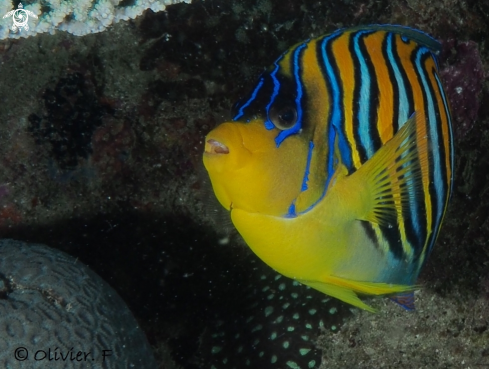 A Royal angelfish