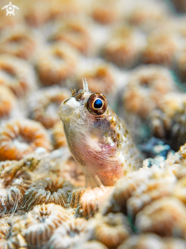 A Variable Fangblenny Blenny