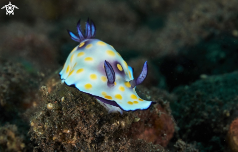 A Nudibranch Goniobranchus sp