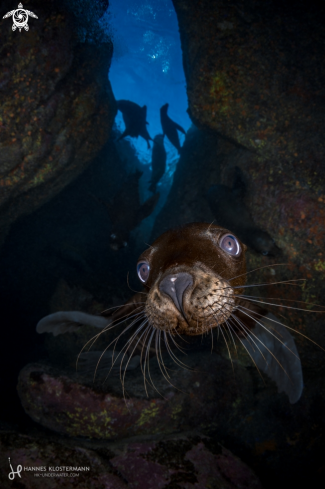 A California Sea Lion