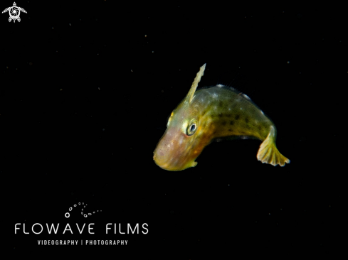 A Juvenile Filefish