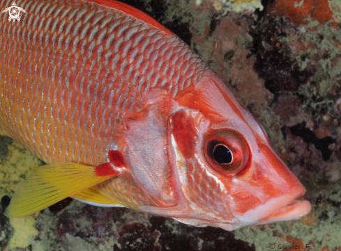 A Sabre squirrelfish