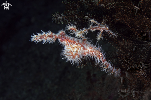 A Couple of Harlequin Ghost Pipefish (Solenostomus paradoxus)