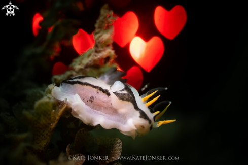 A Crowned Nudibranch