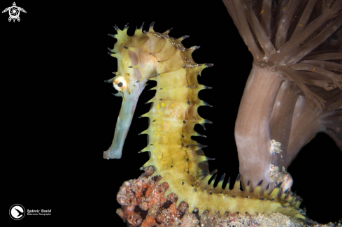 The Thorny Seahorse