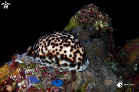 A Tiger Cowrie