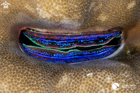The Iridescent Scallop
