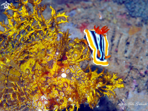 A Rhinopia - Chromodoris Nudibranch