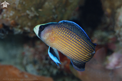 A Spotted Dottyback