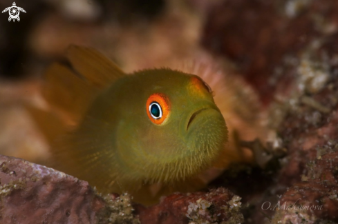 A Emerald coral goby (Paragobiodon xanthosoma)