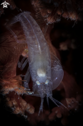 A  snapping shrimp