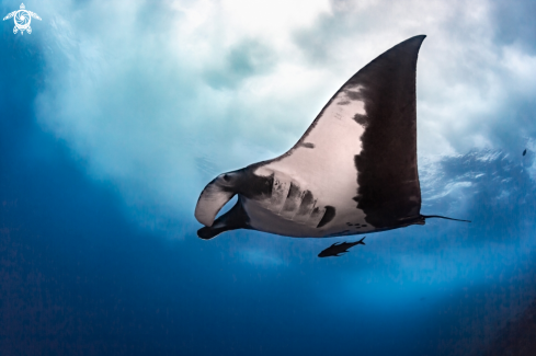 The Giant Pacific Manta Ray