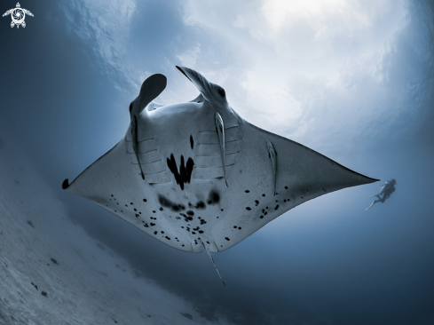 The Manta Ray