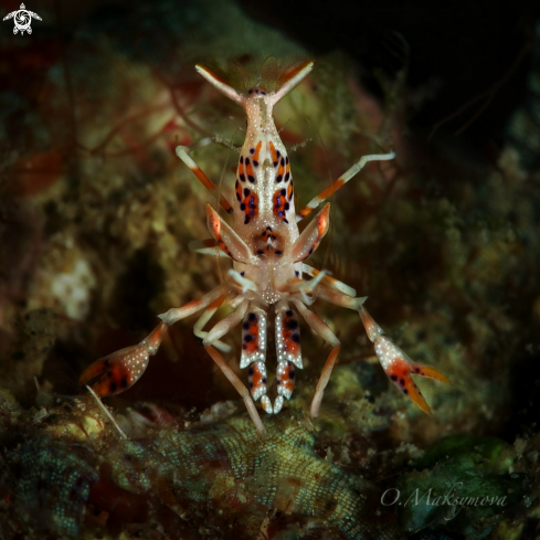 A Spiny tiger shrimp (Phyllognathia