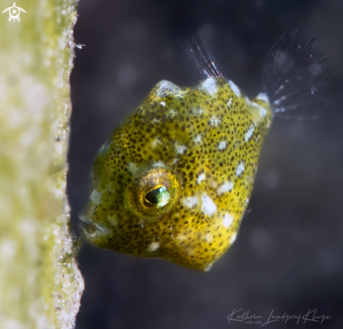 A Juvenile Diamond Filefish