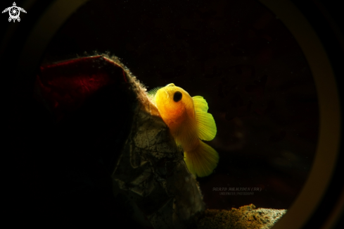 A Yellow coralgoby