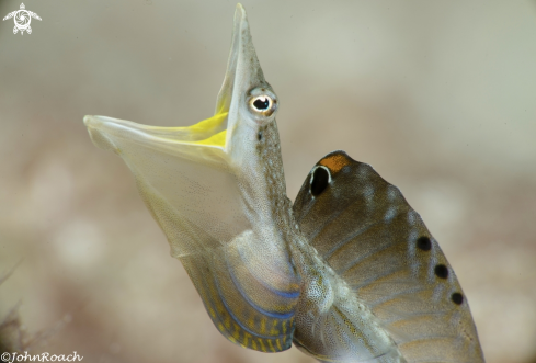 The Yellowface Pike Blenny