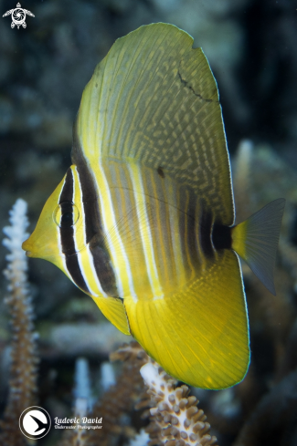 The Pacific Sailfin Tang