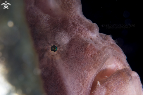 The giant frogfish