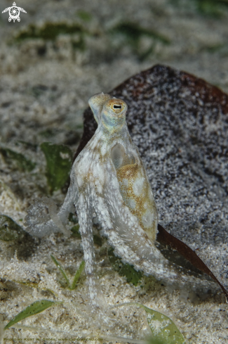 A Long arm octopus