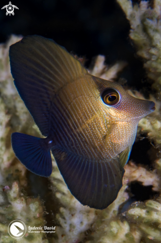 A Zebrasoma scopas | Brushtail Tang